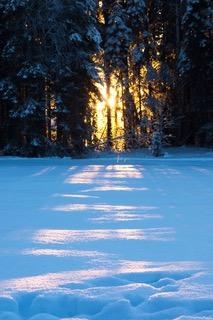 snow-covered-pine-trees-910311.jpeg