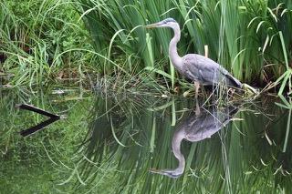 white-crane-bird-635622-2